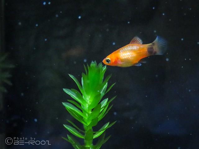 Baby Platy Fish
