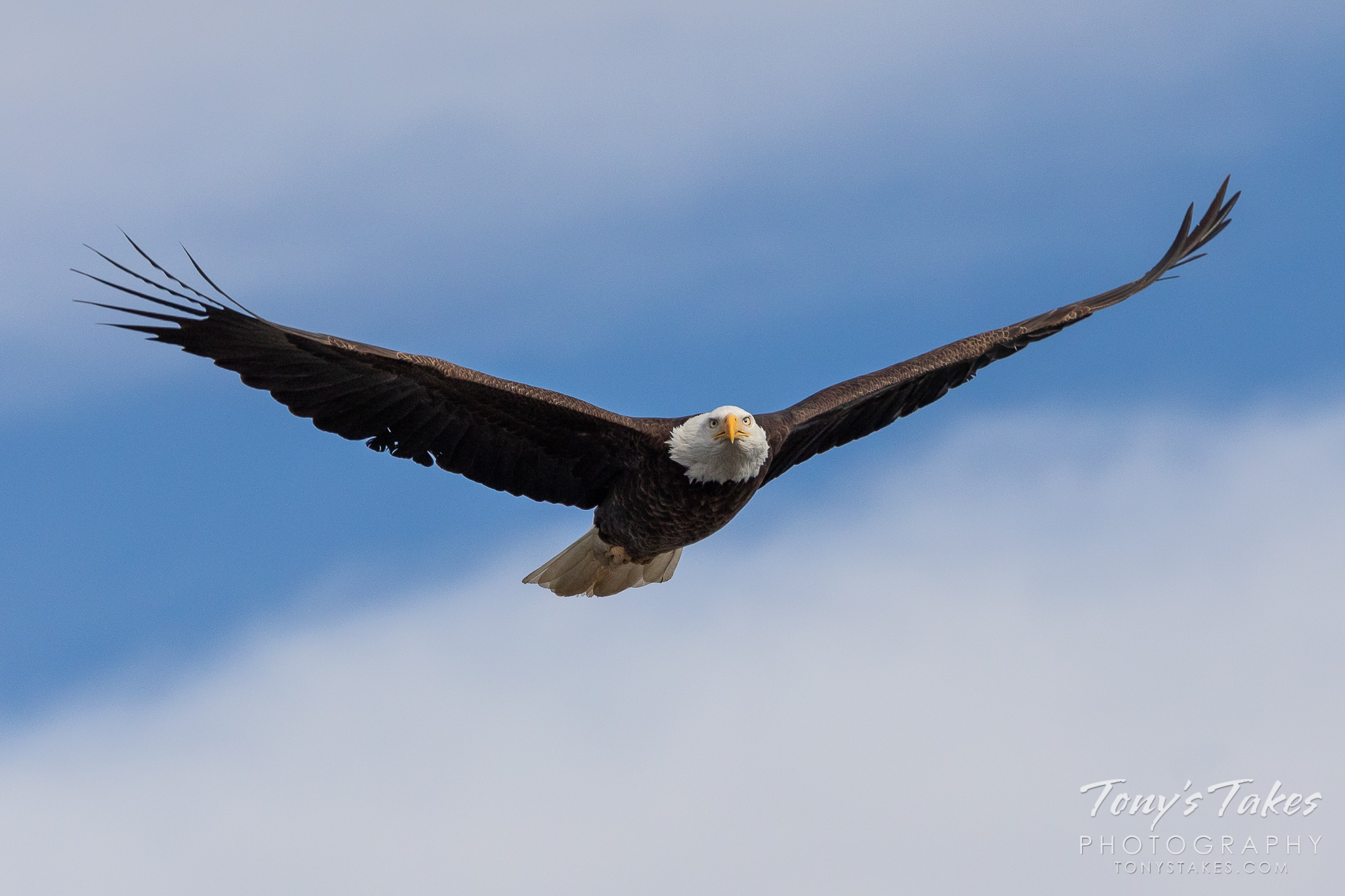 A bald eagle flies head on at St Vrain State Park in Colorado. (© Tony's Takes)