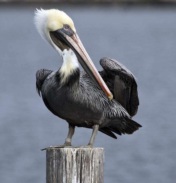 Pelican bird  Hampton Va.