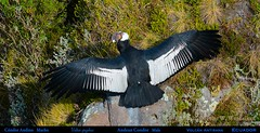 A Male ANDEAN CONDOR Vultur gryphus with Wings Spread at Volcán Antisana in Northern Ecuador. Condor Photo by Peter Wendelken.