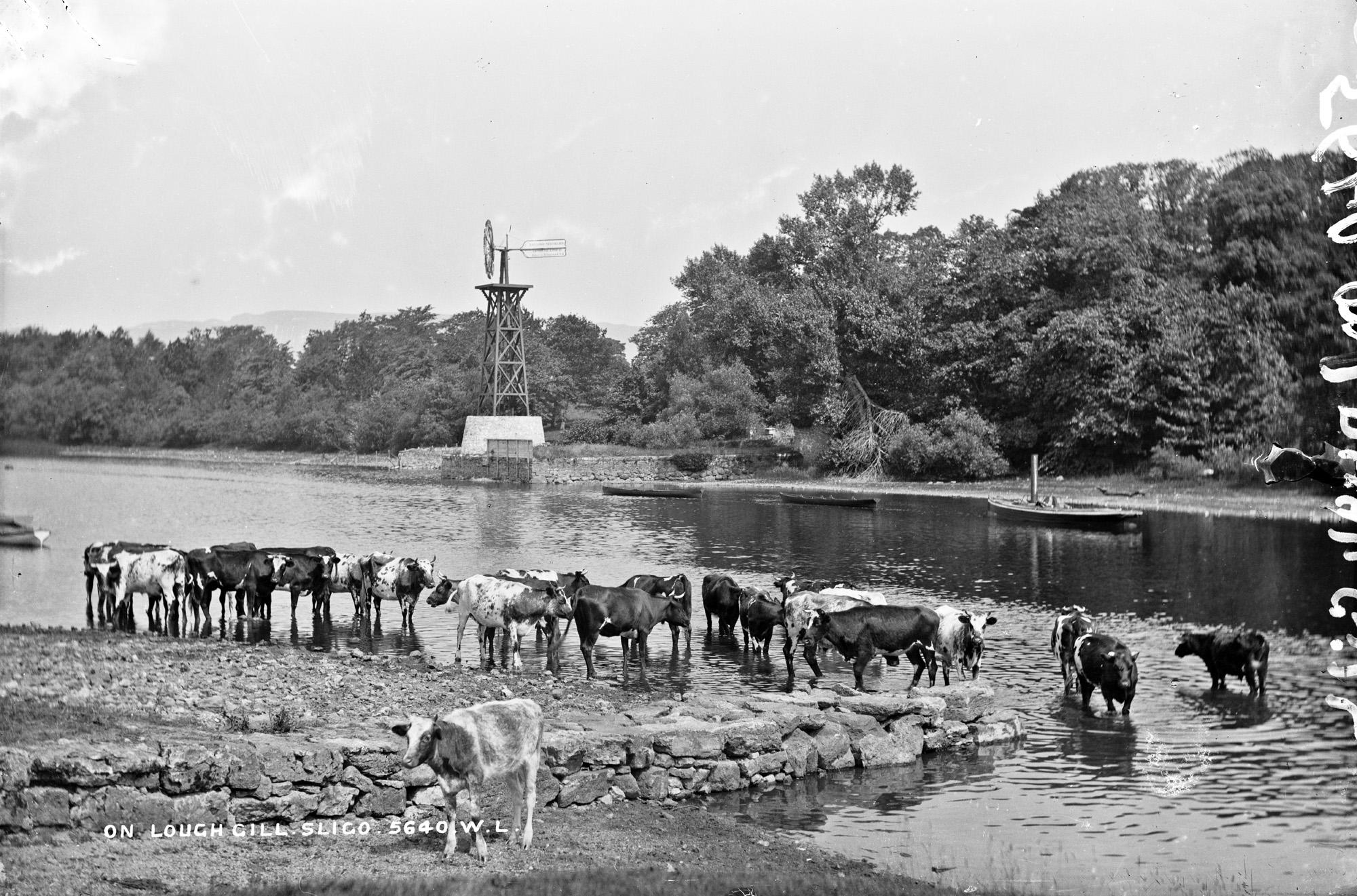 Irish water buffaloes?