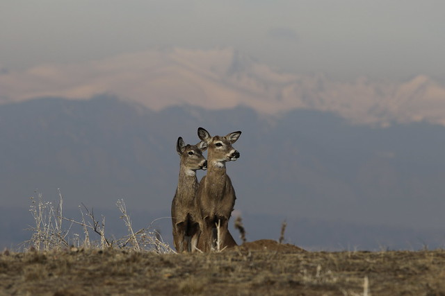 White-tailed Deer Bucks That Shed Their Antlers