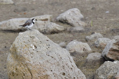 White - fronted  Chat ( big rock for a little bird ) | by friendsintheair