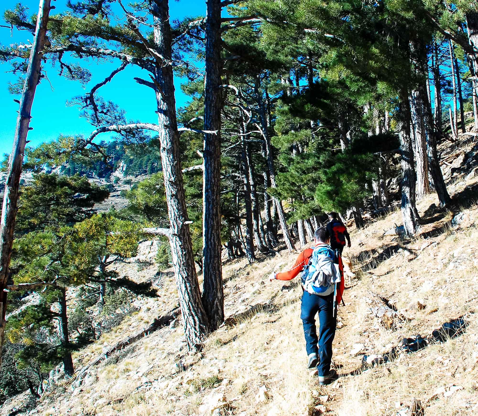 La senda ahora muy bien definida entre los pinos