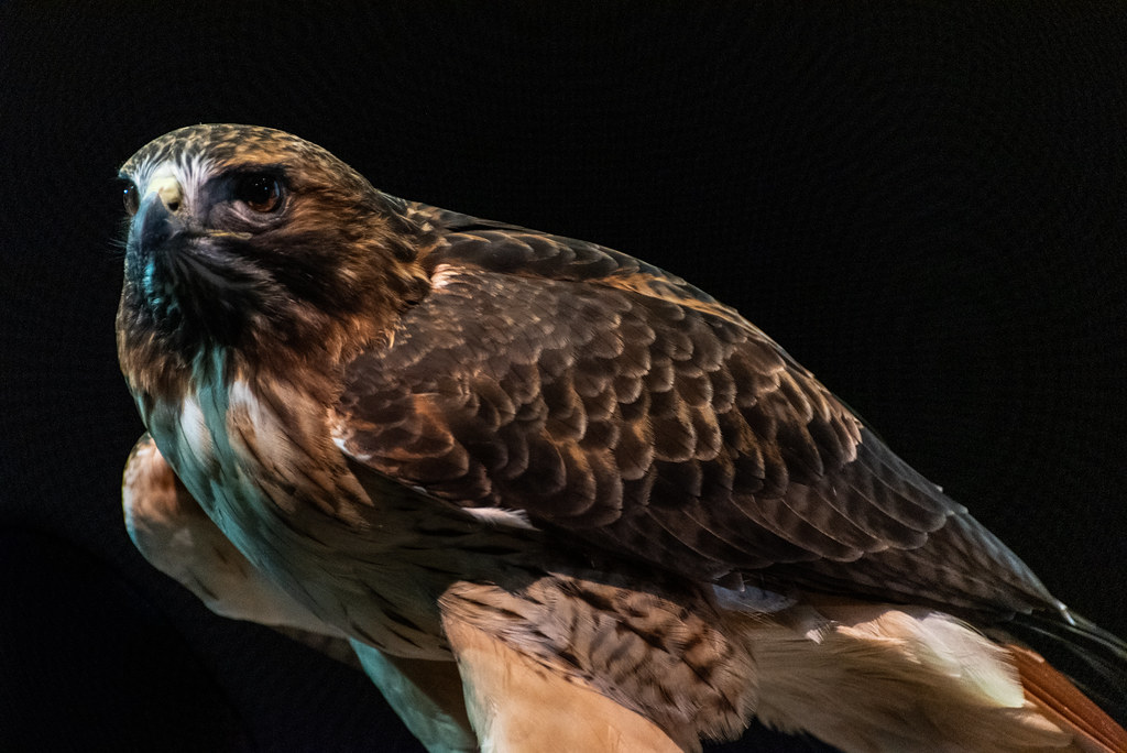 A close up of a red tail hawk