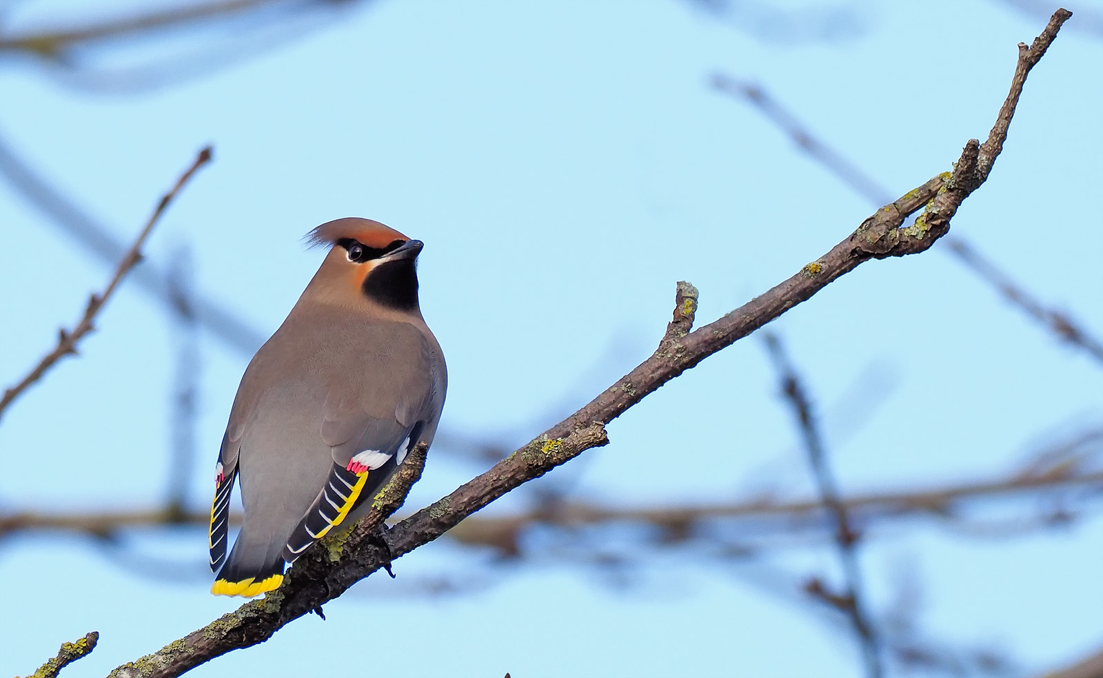 Waxwing - a very canny adult