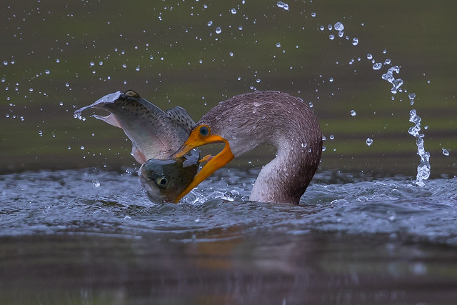 Double-crested Cormorant with Rainbow Trout (X91_4680-1)