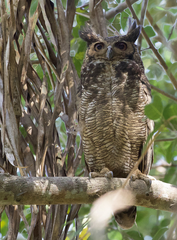 Great-horned Owl, Bubo virginianus Ascanio_Colombia 199A2565