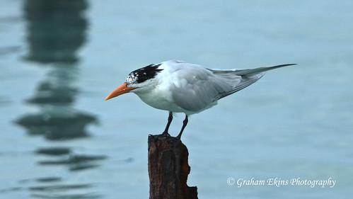 Royal Tern, American Royal Tern, Portland Cottage, Hayes, Jamaica,