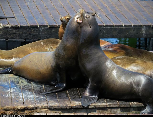 20180607_04 California sea lions (Zalophus californianus) wrestling at Pier 39 | San Francisco, California