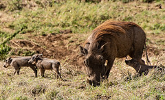 warthogwithyoung