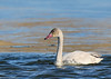 Tundra Swan by Ceredig Roberts