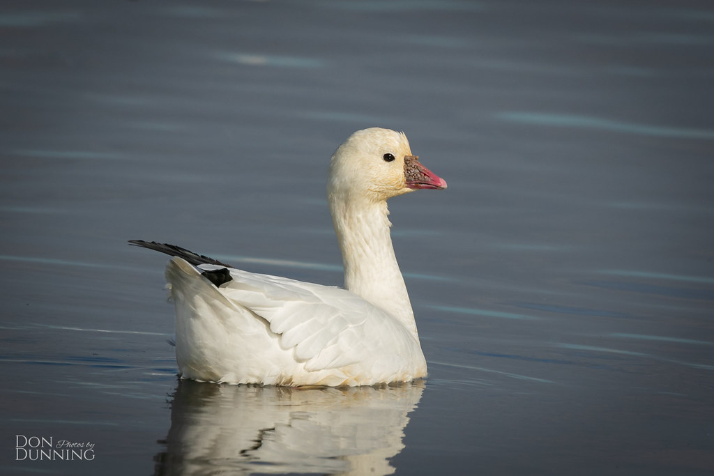 Ross's Goose (Chen rossii) |