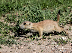 Young Black-tailed Prairie Dog - - Wind Cave National Park, SD/06