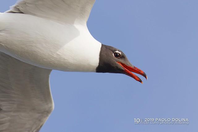 Laughing Gulls (Leucophaeus atricilla)