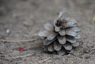 Pine cone | by Photo-Sorko