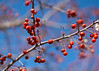 Branch with berries by pollys belvin