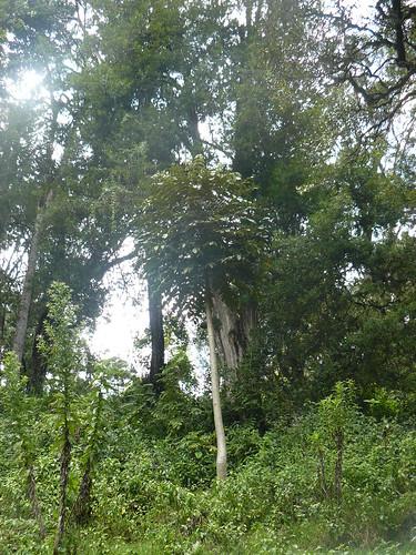 mount kenya araliaceae tree parasol mutati olyalilingi mukurukuru