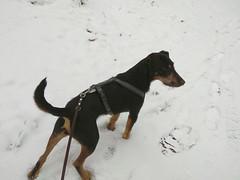 1. Februar 2019 - 9:35 - Winterspaziergang mit Rocky in Roxel.