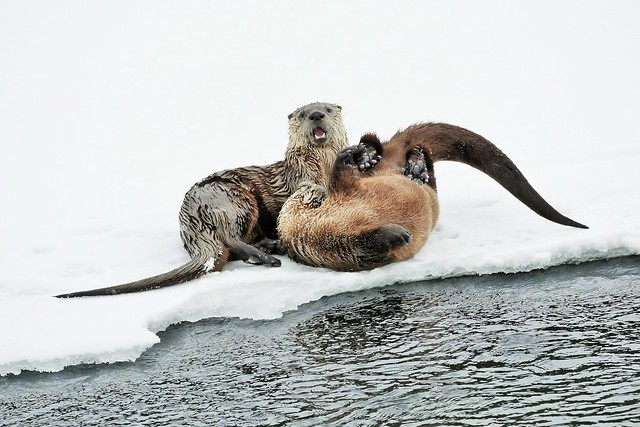 North American River Otters Playing In The Snow (Lontra canadensis)