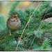 Golden-crowned sparrow by RKop