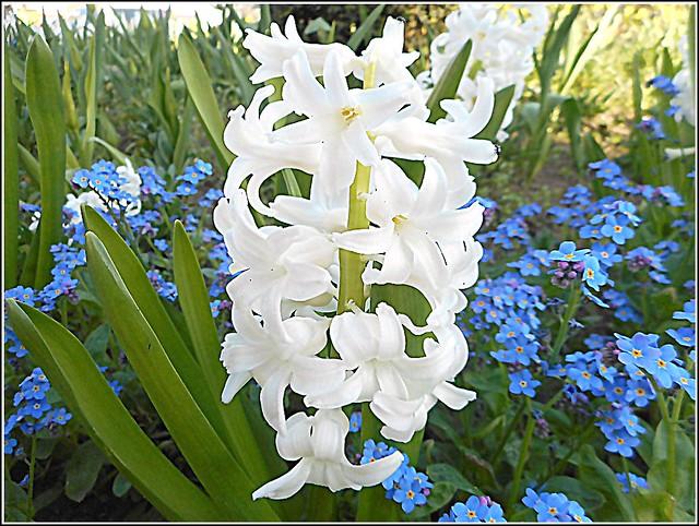 White Hyacinth ..