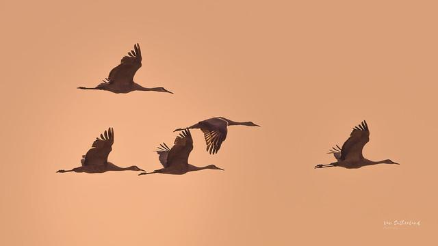 Sandhill Cranes in the evening sky