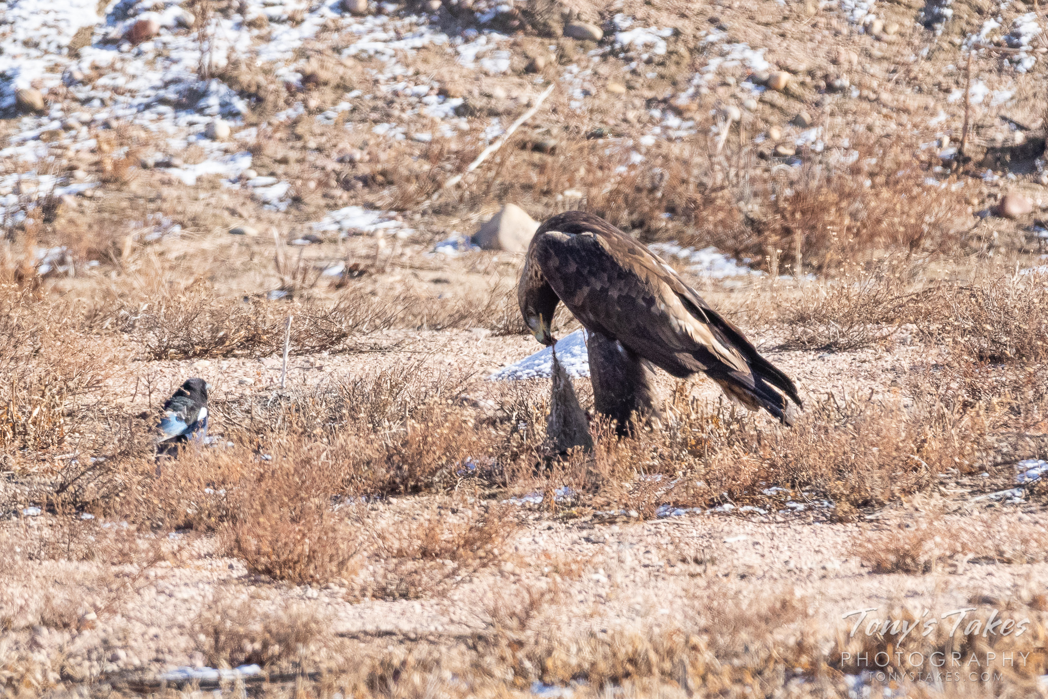 A Golden Eagle enjoys a meal near the South Platte River in Adams County, Colorado. (© Tony's Takes)