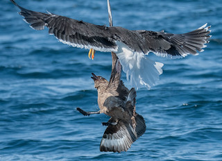 D988986 Great Skua Attacked by Great Black-backed Gull | by Nick Sidle