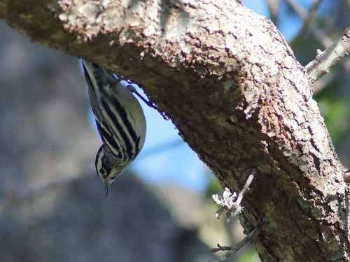 Black-and-White Warbler 008-20190129