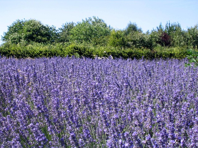 Shropshire Lavender Field