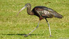 Íbis-preto // Glossy Ibis (Plegadis falcinellus) by Valter Jacinto   Portugal