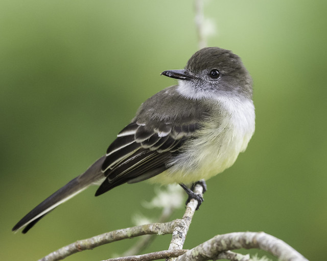 Pale-edged Flycatcher