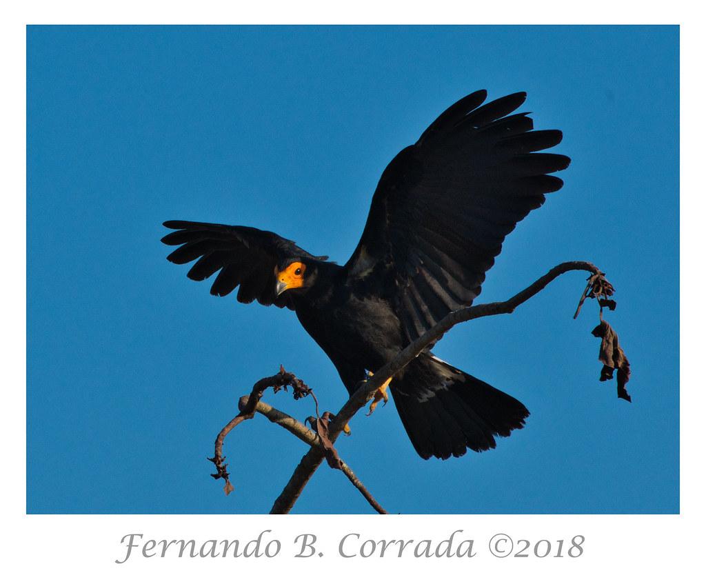Black Caracara (2290)