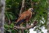 DSC_1796 Black-collared Hawk by dllarson2009