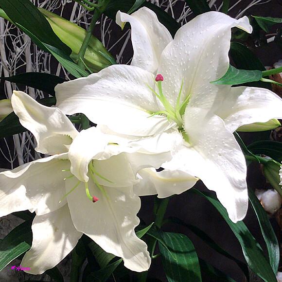 花 言葉 百合 百合(ゆり)の花言葉|花の色別の意味や由来は?