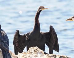 Waterbirds - Darter