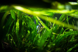 oto in the java fern jungle | by severalsnakes