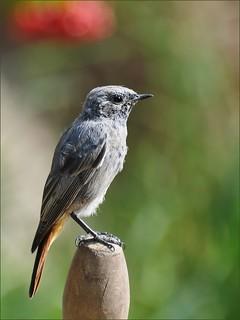 Phoenicurus ochruros / Горихвостка чернушка (Молодая особь)
