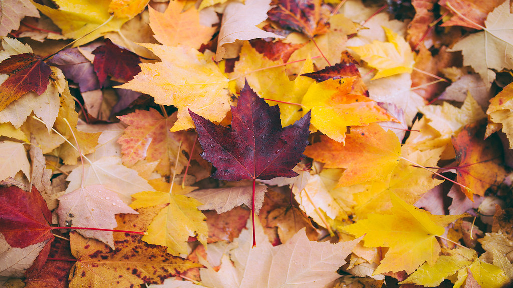 Close up of different coloured maple leaves lying on the ground.