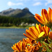 Flowers in Maloja, Engadin, CH