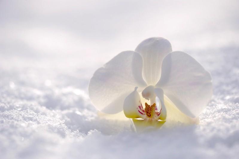 Обои зима, цветок, снег, природа, орхидея картинки на рабочий стол, раздел цветы - скачать