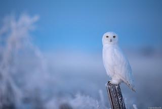 Snowy owl (adult male)