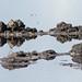 Flickr photo 'Wilson's Snipes (Gallinago delicata)' by: Mary Keim.