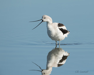 American Avocet (Nonbreeding) | by CR Courson