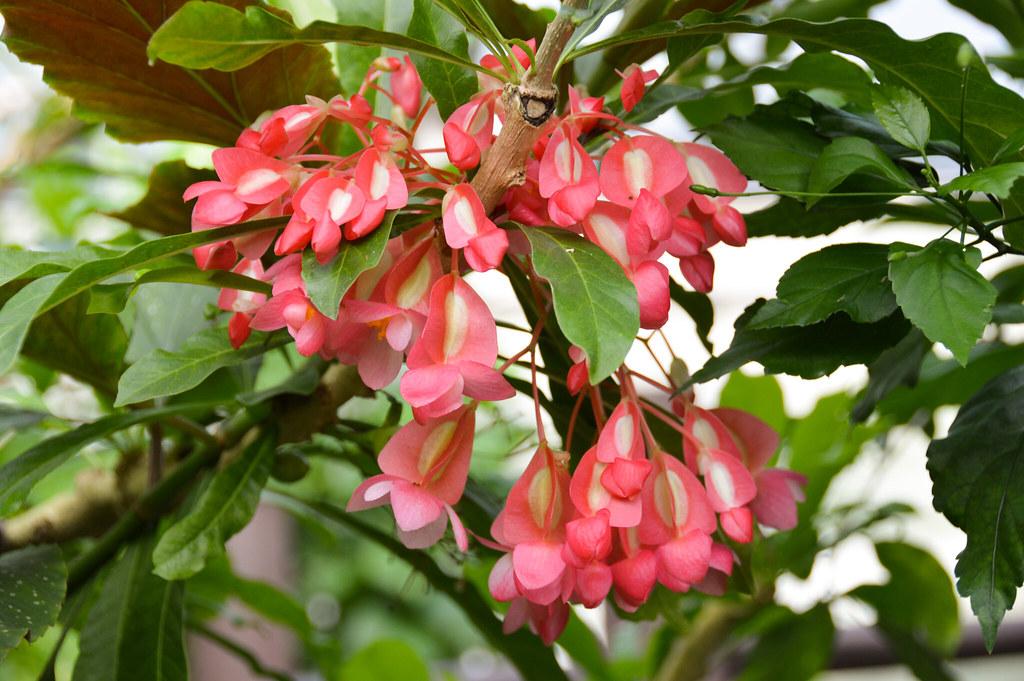 Angel Wing Begonia (Begonia aconitifolia begonia coccinea)
