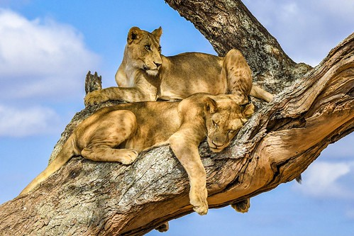 Lion brother's Tarangire National Park - Tanzania | by Wåhlin