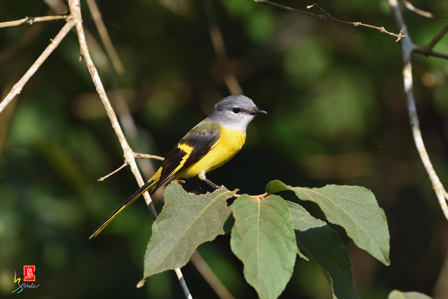 Grey-chinned_Minivet_8712