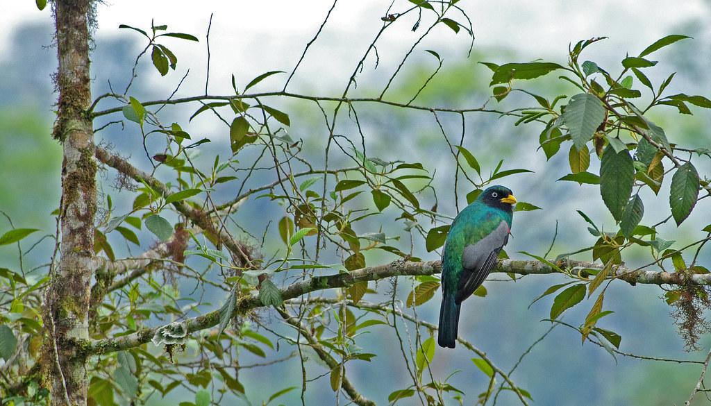 Chocó Trogon (Trogon comptus) male.  Mindo area. North-western Ecuador.