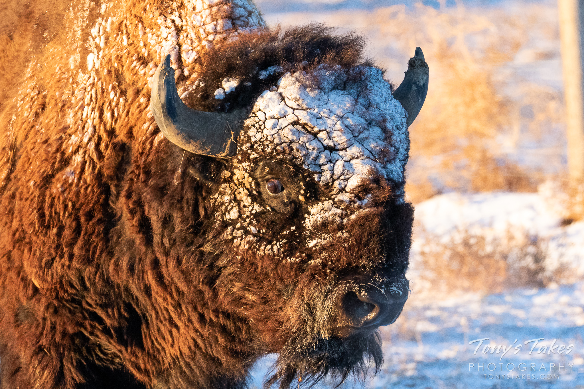 Bison bull wears the remnants of a fast-moving storm